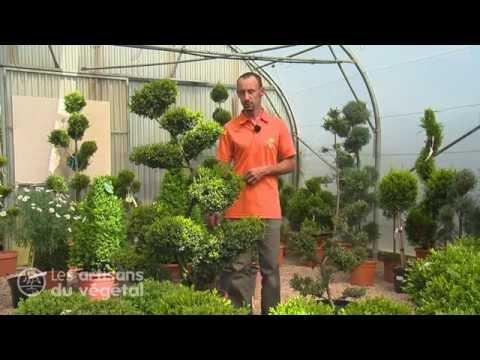 Comment tailler en nuage ses conif res buis charmes et autres arbustes - Comment tailler en nuage ...