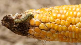 WSU Extension and Sweetcorn Pests