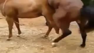 ▶ Mùa Giao Phối Của Loài Ngựa   Động Vật Hoang Dã YouTube 720p