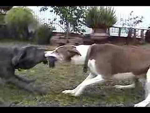 Neo Mastiff 5month Vs Pitbull Mix Youtube