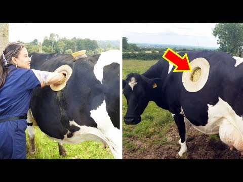 10 Most Bizarre Cows You Dont Know Exist