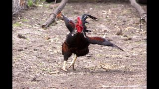Angry Rooster Chasing People And Animals