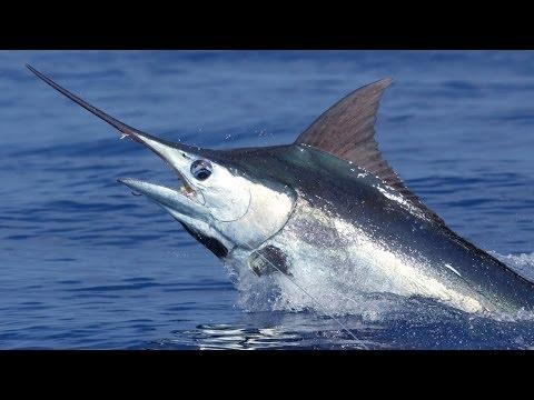 Aggressive Blue Marlin Bite