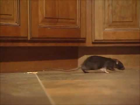 Rodent Control & Elimination