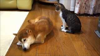 柴犬の毛繕いをする猫