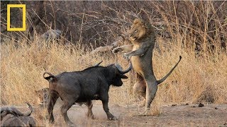 National Geographic | Lion vs Buffalo  | Nat Geo Documentary