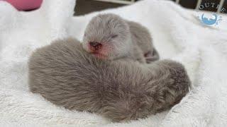 カワウソの赤ちゃんに栄養を!【生後3日目】 Otter baby needs nutrition a lot!【Day 3】
