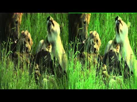 Lions on a buffalo kill on Safari TV Diary - 2011.01.20 -