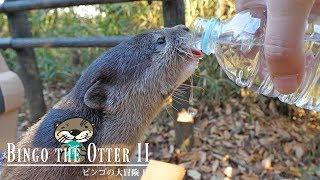 カワウソ ビンゴの大冒険in公園(パート2)Otter Bingo's great adventure Pt.2