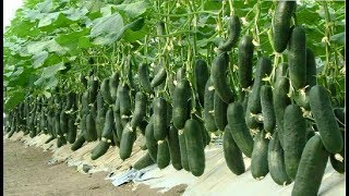 WOW! Amazing Agriculture Technology - Cucumbers