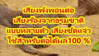 ฟังเพลง ดาวโหลดเพลง เสียงพังพอน ใช้สำหรับต่อได้ผล 100% Mongoose