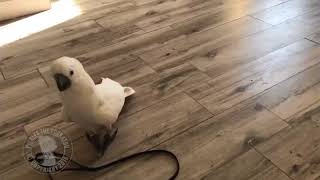 Cockatoo Attempts to Protect Owner From Cockroach - 991957