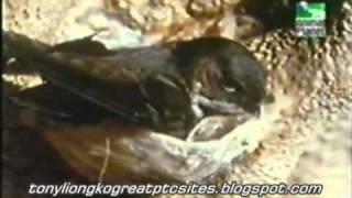 Chim yến làm tổ như thế nào