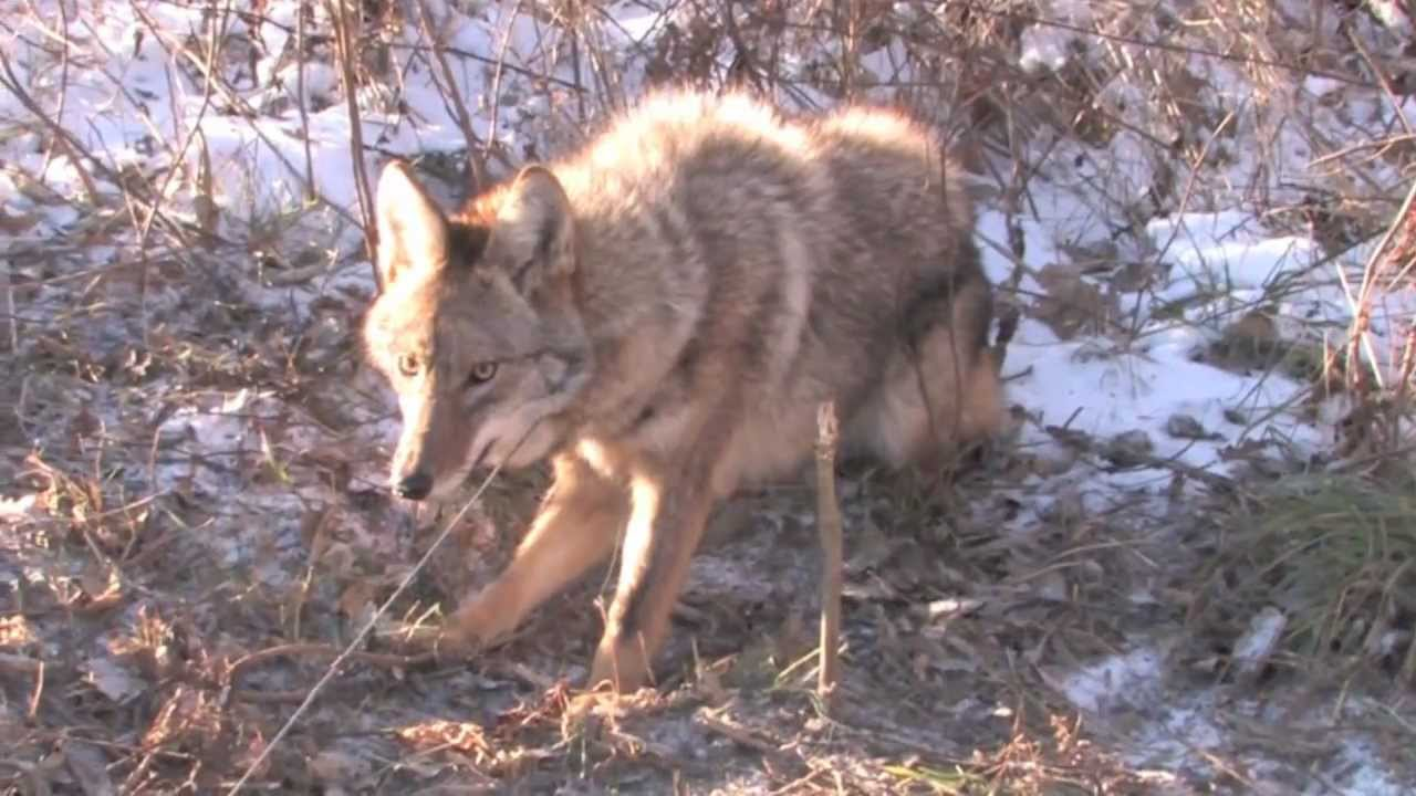Missouri Cable Restraint Caught Coyote Youtube