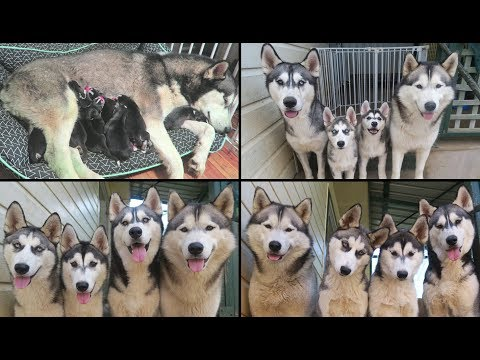 SIBERIAN HUSKIES LETTY & MILEENA'S TIME LAPSE | NEWBORN TO 1 YEAR OLD | FIRST YEAR OF LIFE!