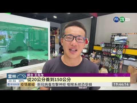 跳出2米高魚缸 1.5米長象魚重摔不治 | 華視新聞 20201016