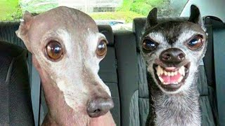/funniest dogs and cats try not to laugh funny pet animals39 life