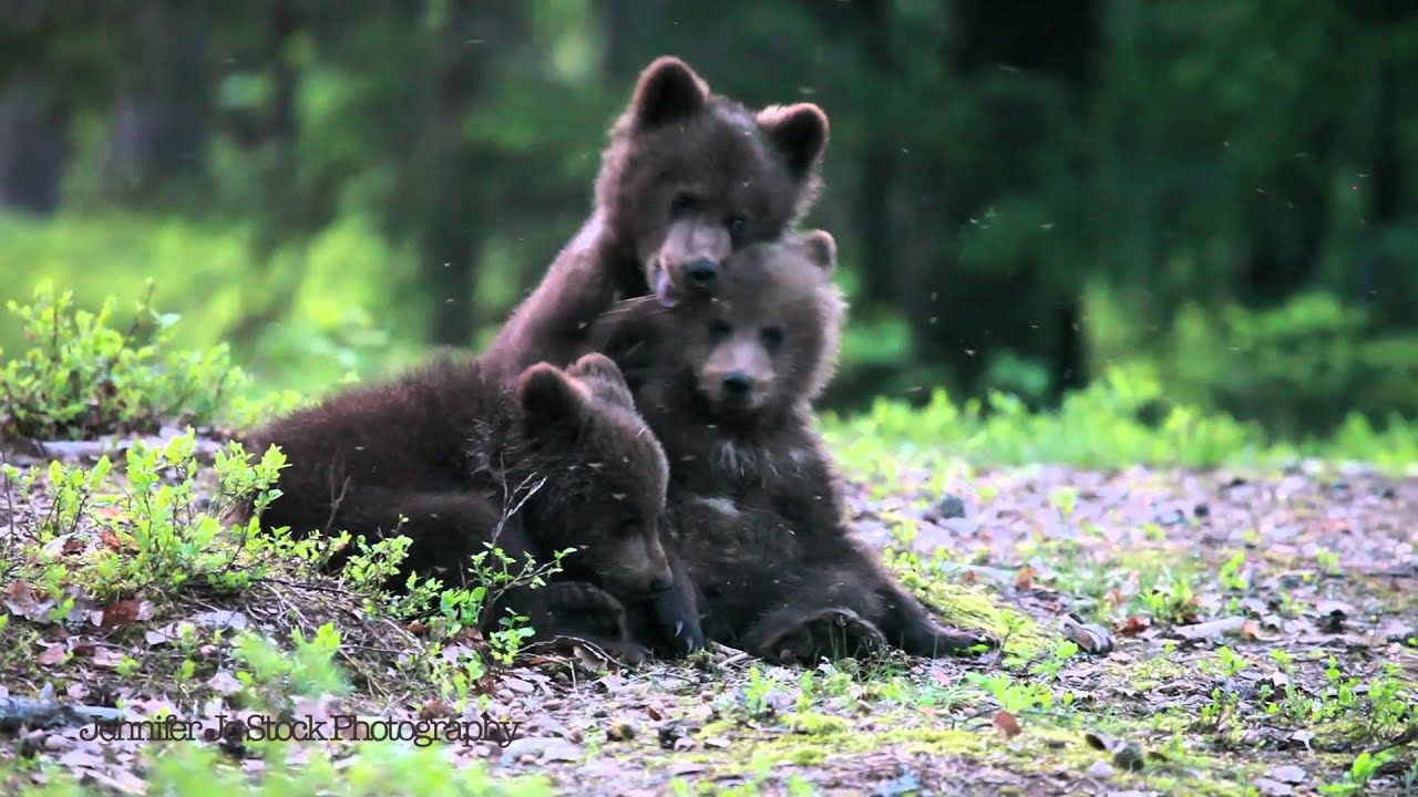 Baby Bear Cubs Playing In The Woods Youtube