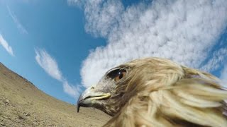 GoPro: Hunting a Fox From an Eagle's POV