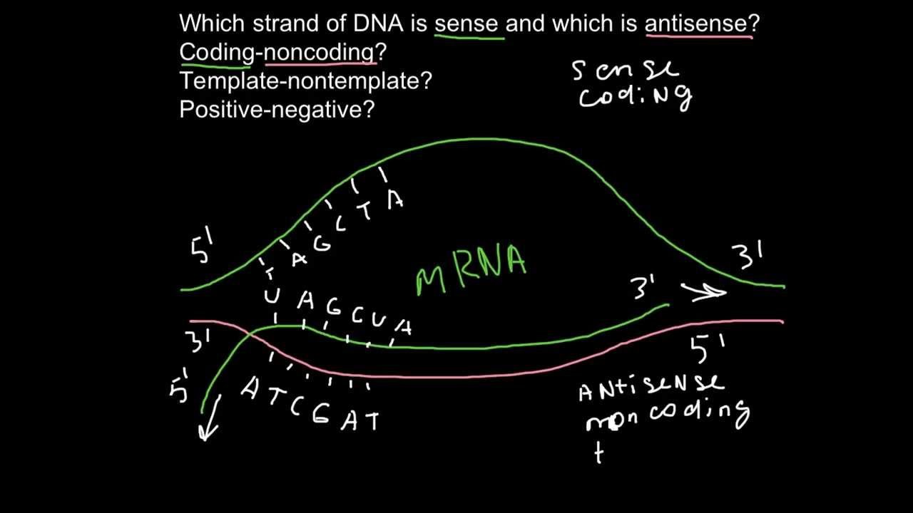 Sense and antisense strands of dna youtube for What is a template strand