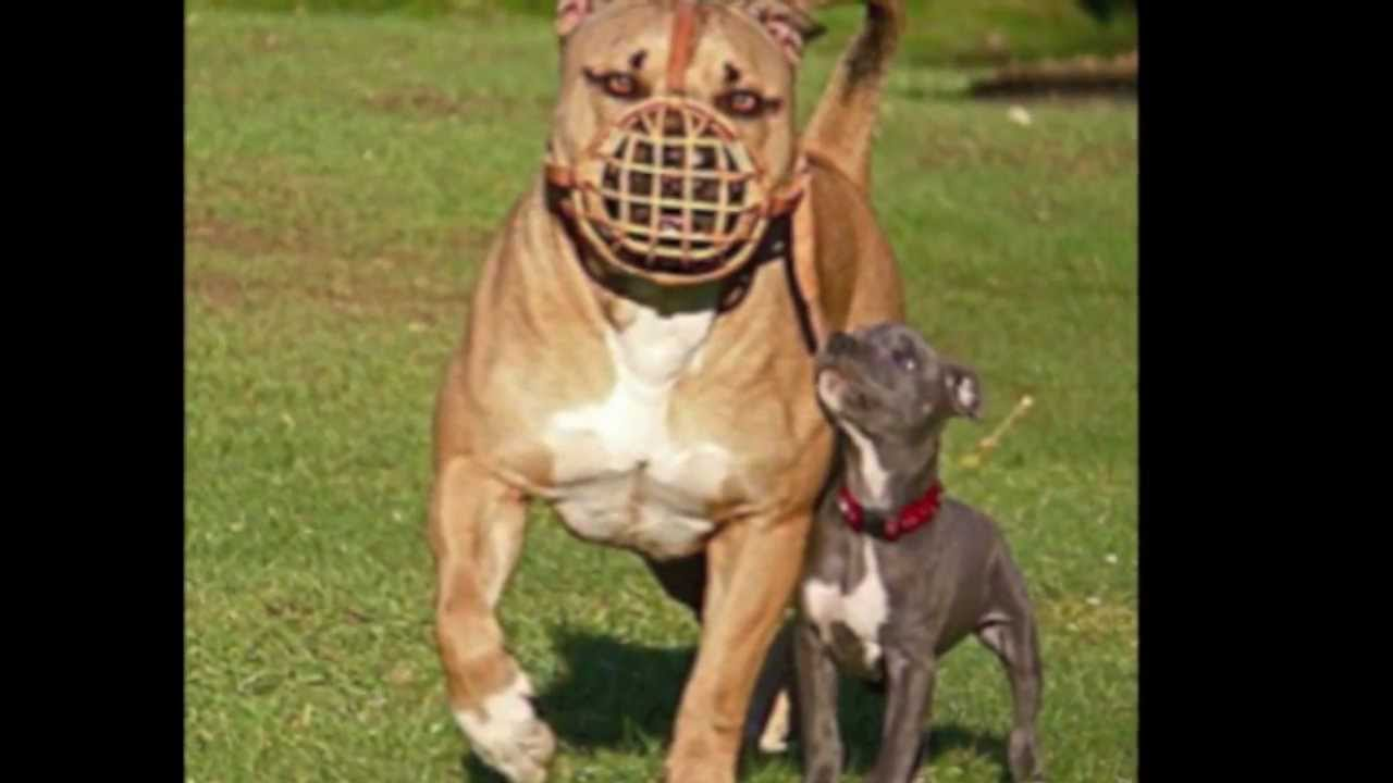 largest pit bull in the world ever - YouTube