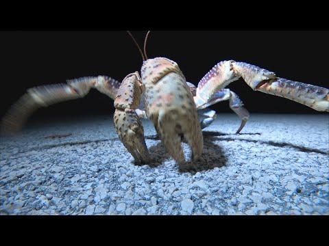 【陸蟹保育】我們的島 第706集 椰子蟹的Party(新版) (2013-5-13)