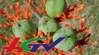HGTV | 37 học sinh ngộ độc ... do hạt cây ngô đồng