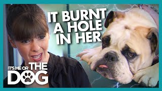 Shock Collar on Puppy Leaves Lasting Damage |  It's Me or The Dog