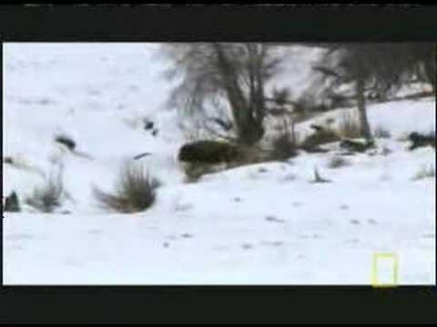 Волки охотятся на бизона