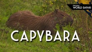 Capybara: How Big is the World's Largest Rodent?