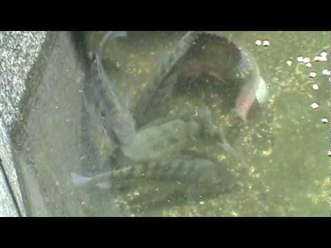 360tv con los pies en la tierra cultivo de langosta for Como criar truchas