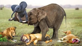 LIVE: Mother Lion Destroy The Lion To Revenge Her Calf - Wild Discovery Animals Fight 2019