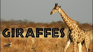 GIRAFFE: Animals for children. Kids videos. Kindergarten | Preschool learning  [English]