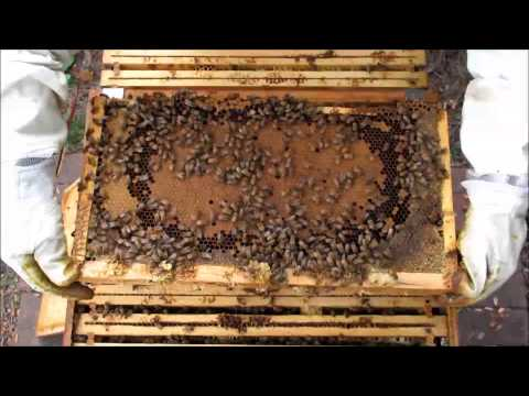 Backyard Beekeeping Part 25 (S4:E2): Hive Split