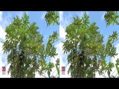 3D Video extreme!!! (evo 3D Works) Papaya Trees 2
