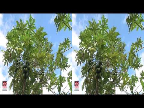 3D Video extreme!!! (evo 3D Works) Papaya Trees 2