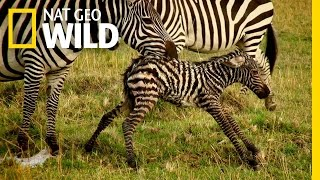 Baby Animals Find Their Footing   Animal Moms