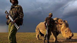 Tê giác trắng Phi Châu giống đực cuối cùng trên thế giới chết