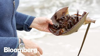This Crab's Blood May Have Saved Your Life