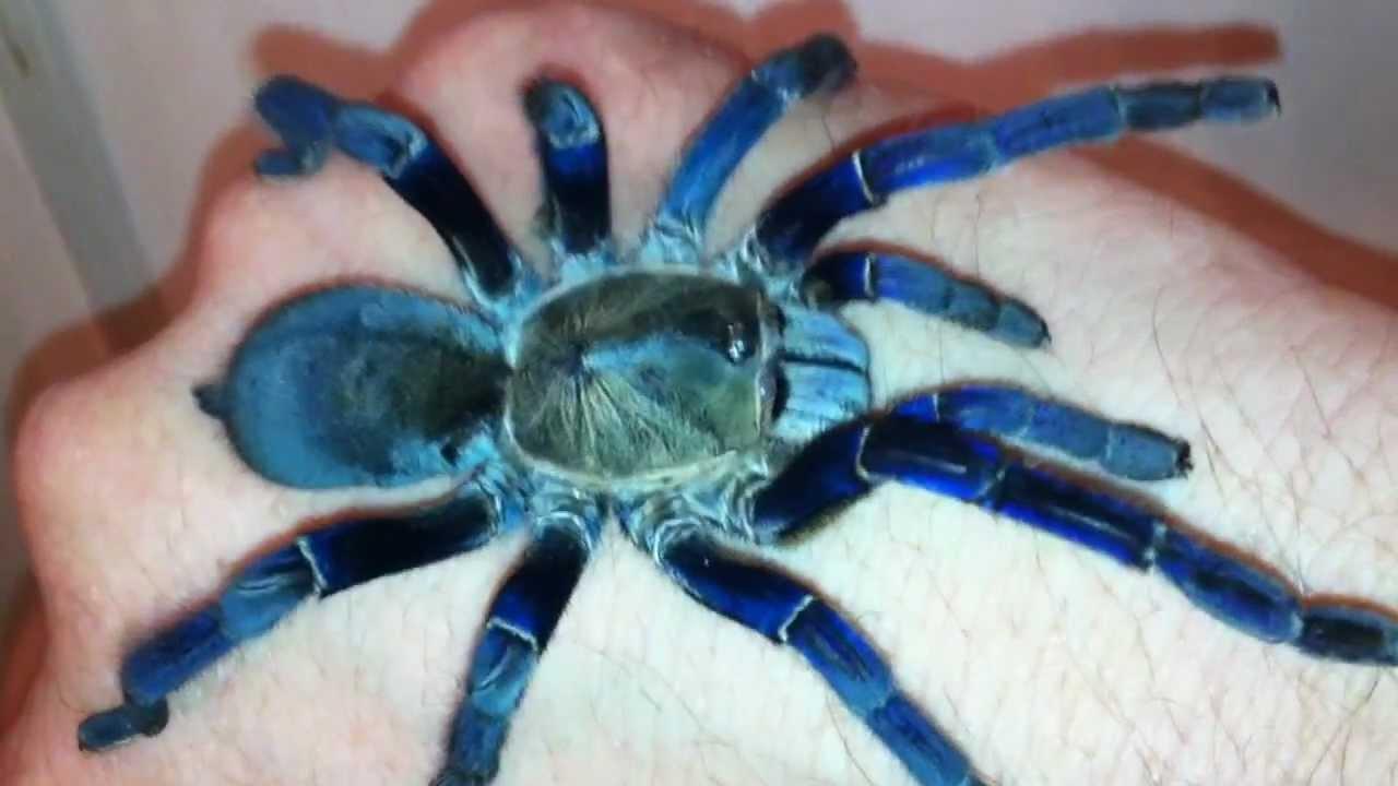 Cobalt Blue Tarantula Handling H Lividium Hd Calm