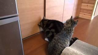 戸棚を開けたい猫