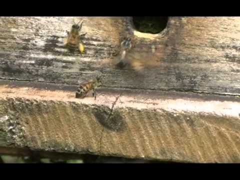 Bees Bringing Pollen Into the Hive