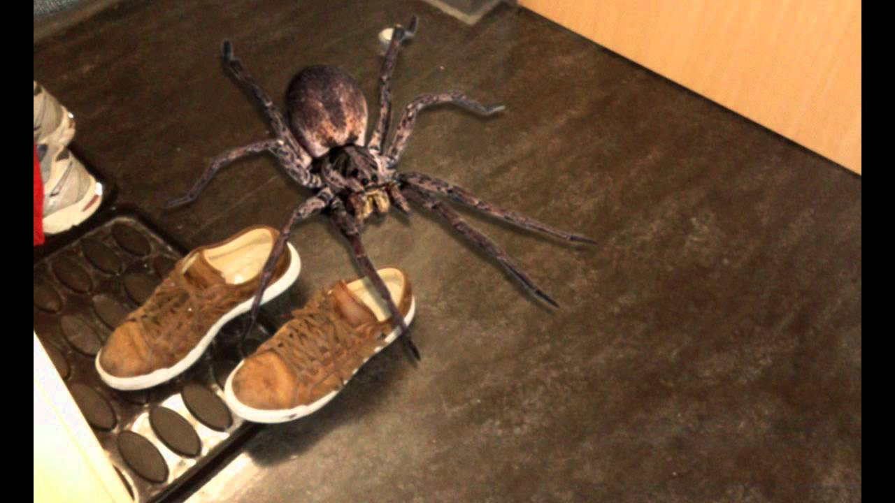 The Biggest Spider Ever!! - YouTube