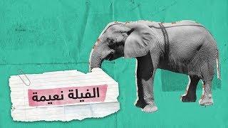 بعد محاولات لإنقاذها.. نفوق آخر فيلة حديقة الجيزة المصرية  RT ...
