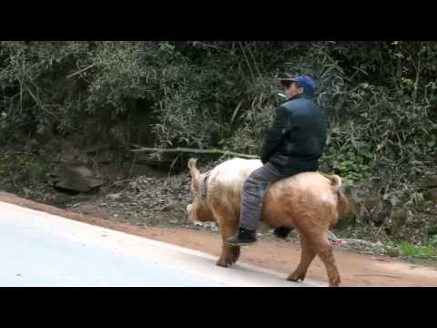 Farmer Rides Pig Along Busy Road in China