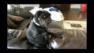 Buddy the Brussels Griffon - What a Great Dog!