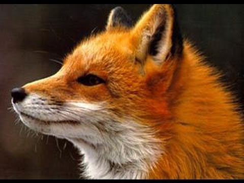 Baixar Ylvis - The Fox (what does the fox say?) Lyrics