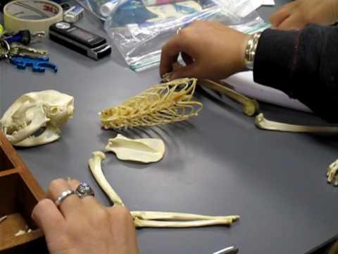 Skelet mačke 1. deo