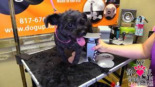 Maltese dog grooming Live Day
