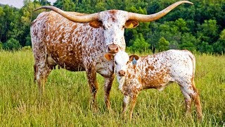 Texas Longhorn Cattle | American Southwest Icons